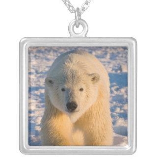 Collier l'ours blanc, maritimus d'Ursus, polaire