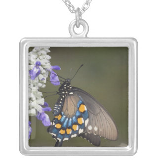 Collier Machaon de Pipevine, philenor de Battus, adulte