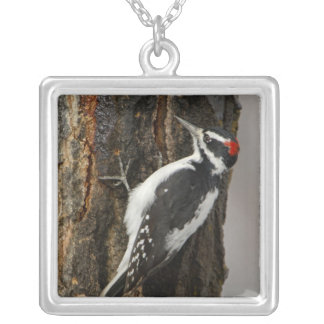 Collier Mâle velu de pivert sur l'arbre de tremble, Teton