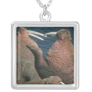 Collier Mâles 2 de rosmarus d'Odobenus de morse Pacifique)