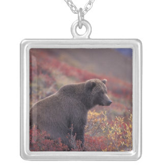 Collier Na, Etats-Unis, Alaska, Denali NP. Un ours gris