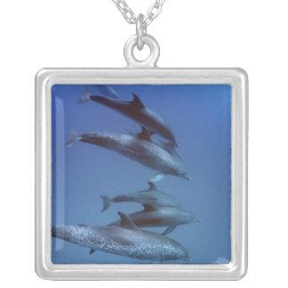 Collier Océan atlantique a repéré des dauphins. Bimini,