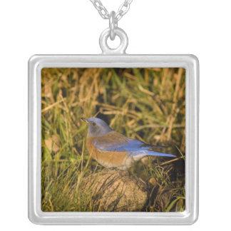 Collier Oiseau bleu occidental, mexicana de Sialia, mâle