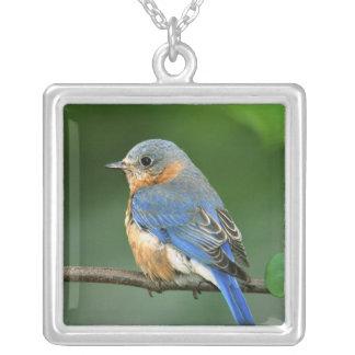 Collier Oiseau bleu oriental femelle, sialis de Sialia