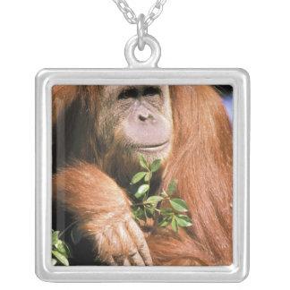 Collier Orang-outan captif, ou pygmaeus de pongo. 2