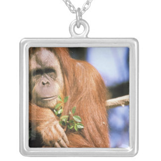 Collier Orang-outan captif, ou pygmaeus de pongo. 3