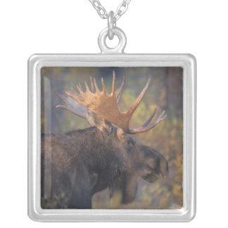 Collier orignaux, alces d'Alces, taureau dans Teton grand