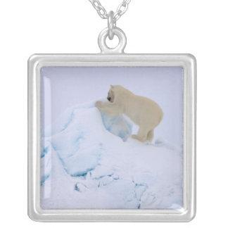 Collier ours blanc, maritimus d'Ursus, montant rugueux