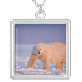 Collier ours blanc, maritimus d'Ursus, sur la glace et la