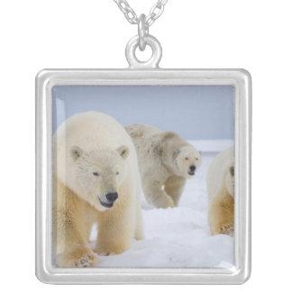 Collier ours blanc, maritimus d'Ursus, truie avec des