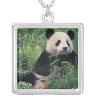 Collier Panda géant dans l'herbe, vallée de Wolong,