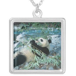 Collier Panda mangeant le bambou par la berge, Wolong,