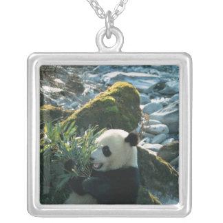 Collier Panda mangeant le bambou par la berge, Wolong, 3