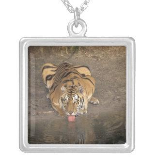 Collier Panthera potable le Tigre de tigre de Bengale)