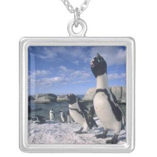 Collier Pingouin africain ((demersus de Spheniscus)
