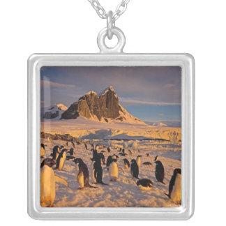 Collier pingouin d'adelie, Pygoscelis Adeliae, colonie le