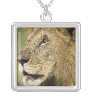Collier Portrait africain de lion, Panthera Lion, dans