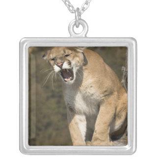 Collier Puma ou puma, concolor de puma, captif -