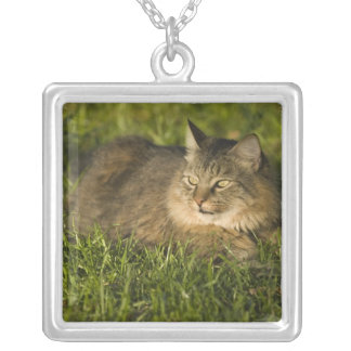 Collier Ragondin du Maine (la plus grande race des chats