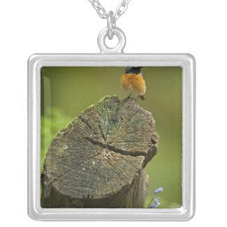 Collier Redstart (phoenicurus de Phoenicurus) sur tombé