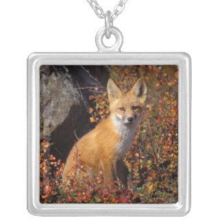 Collier renard rouge, vulpes de Vulpes, dans des couleurs