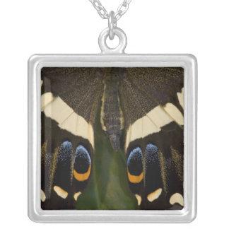 Collier Sammamish, papillon tropical 12 de Washington