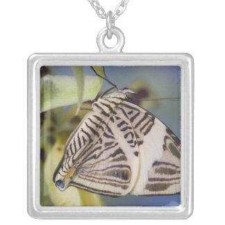 Collier Sammamish, Washington. Papillons tropicaux 21