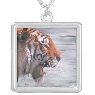 Collier Tigre de baîllement dans l'eau