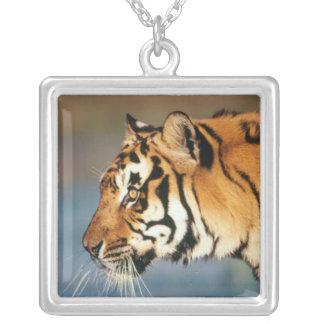 Collier Tigre de l'Inde, Bengale (Panthera Tigre) 4