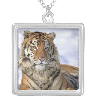 Collier Tigre sibérien, altaica du Tigre de Panthera, Asie
