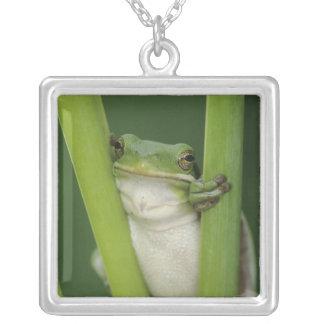 Collier Treefrog vert, Hyla cinerea, adulte, lac