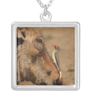 Collier Un Oxpecker sur un museau de warthogs,