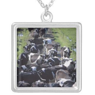 Collier Vaches laitières de Fresian, attendant la traite,