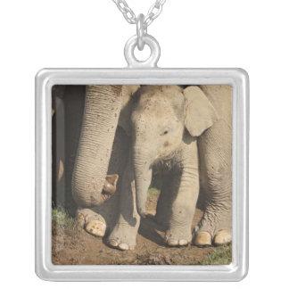Collier Veau d'éléphant d'Asie, parc national de Corbett,