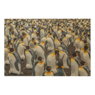 Colonie de pingouin de roi, Malouines Impression Sur Bois