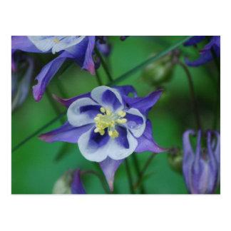 Columbine bleu et blanc fleurit la carte postale