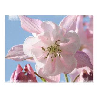 Columbine rose fleurit la carte postale