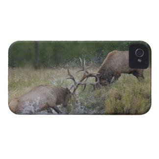 Combat de taureaux d'élans, Yellowstone NP, Coques Case-Mate iPhone 4