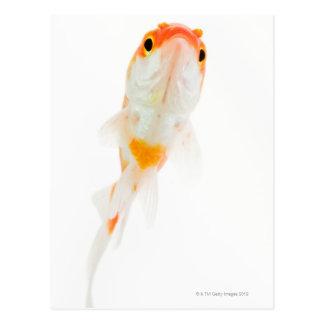 Comète/poisson rouge Comète-coupé la queue Cartes Postales