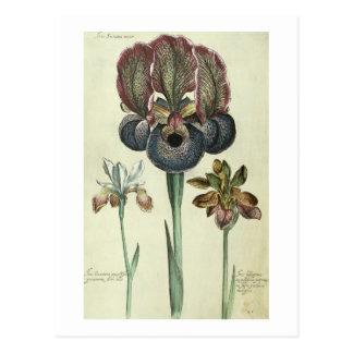 Commandant de susiana d'iris et angustifolia de cartes postales