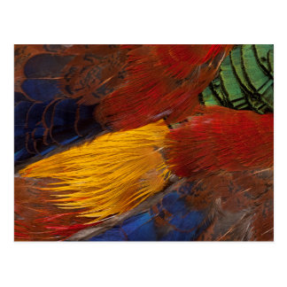 Conception de plume de faisan d'or carte postale