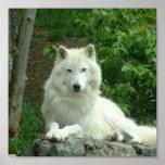 Copie arctique de loup poster