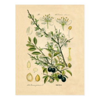 Copie botanique antique - prunellier carte postale