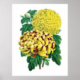 Copie botanique de chrysanthème poster