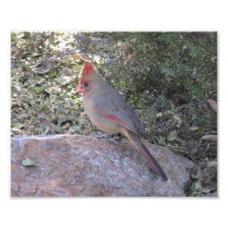 Copie cardinale du nord femelle de photo