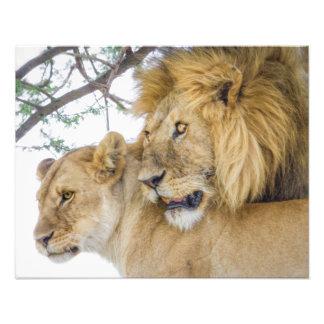 Copie de photo de couples de lion