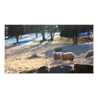 Copie de photo de moutons