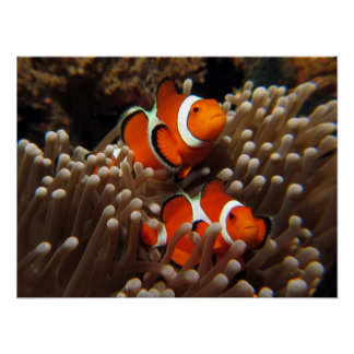 Copie de poissons de clown de Nemo Poster