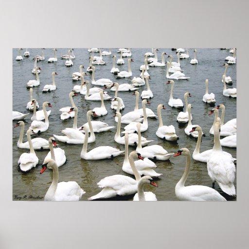 Copie de toile de lac swan affiche