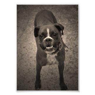 Copie drôle mignonne de photo de chien de boxeur